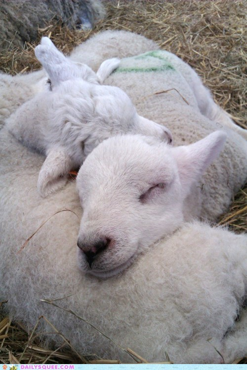 lambs,nap,sheep,sleep