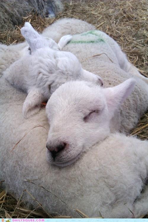 lambs nap sheep sleep - 5984253184