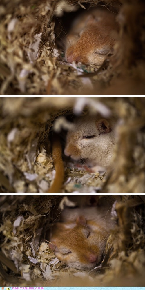 gerbils nap pets reader squees sleep - 5984640256