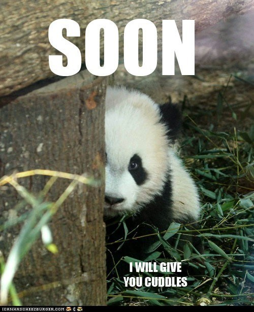 adorable baby captioned cub cuddles give giving not scary panda panda bear SOON twist - 5986885120