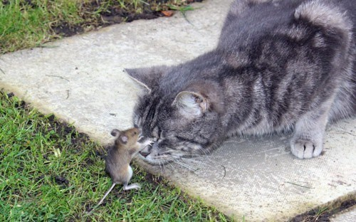 cat and mouse,kitteh,mouseh,Tom And Jerry IRL