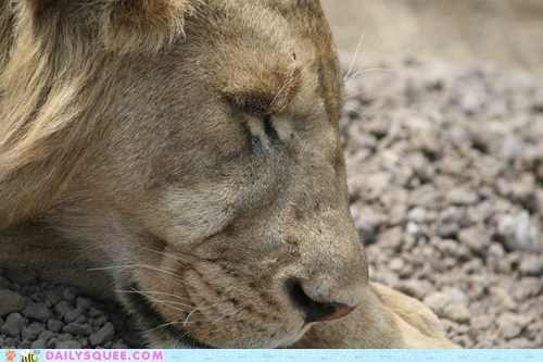 face lion nose sleep snooze - 5988094464