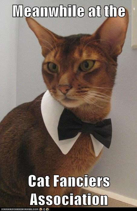 association bow tie cat fancy classy dressed up fanciers Meanwhile - 5992613888