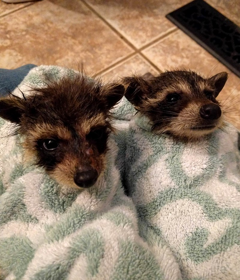 baby raccoons baby adorable baby animals cute baby animals cute lol trash pandas raccoons funny animals rescue - 5993733