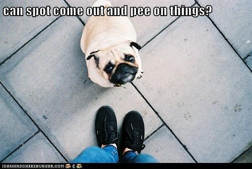 begging,caption,dogs,feet,pee,play,please,pug,spot