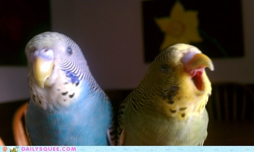 birds parakeets pets reader squees yawn - 5996943872