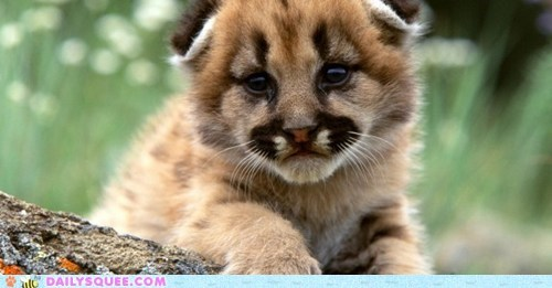 baby big cat cougar cub squee spree - 5999275520