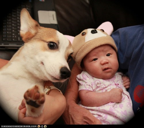 baby,corgi,dogs,friends,hat,human,puppy,siblings