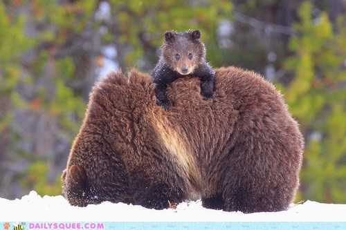 back,bear,cub,mom,ride,snow