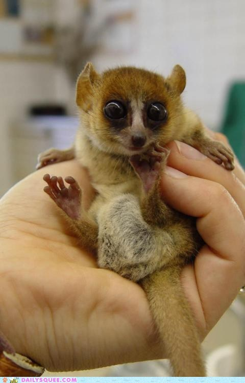 hand little loris marsupial - 6000396288
