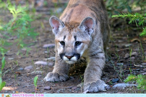baby cougar cubs feet squee spree - 6001162496