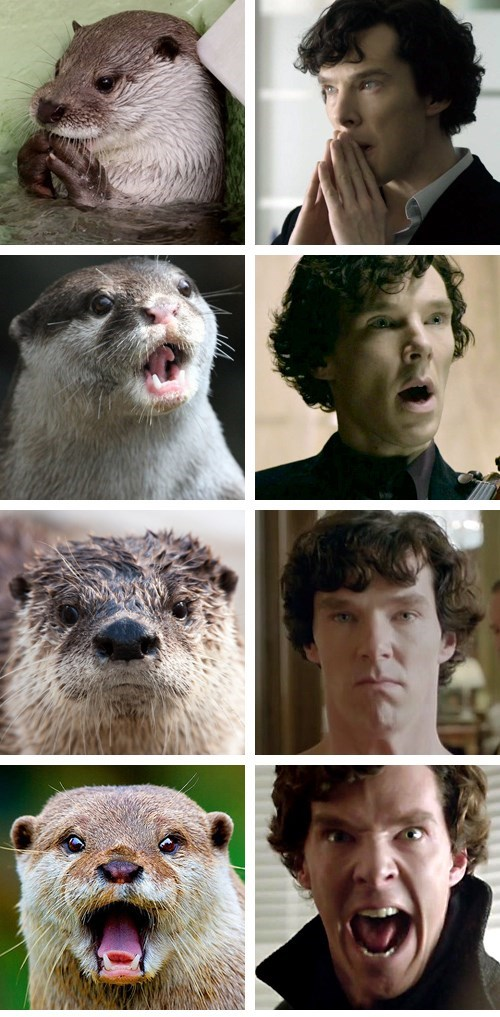 Funny pictures of otters that look just like Benedict Cumberbatch. The resemblance is just uncanny.
