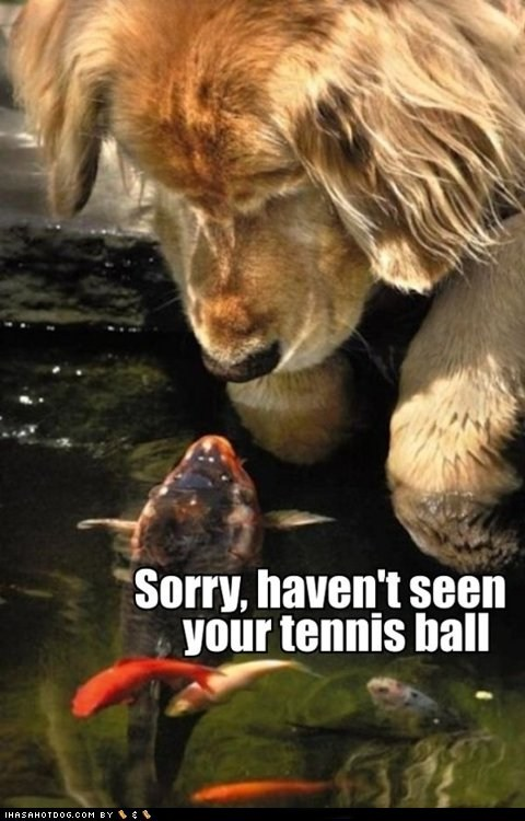 ball,balls,dogs,fish,funny,golden retriever,help,sorry