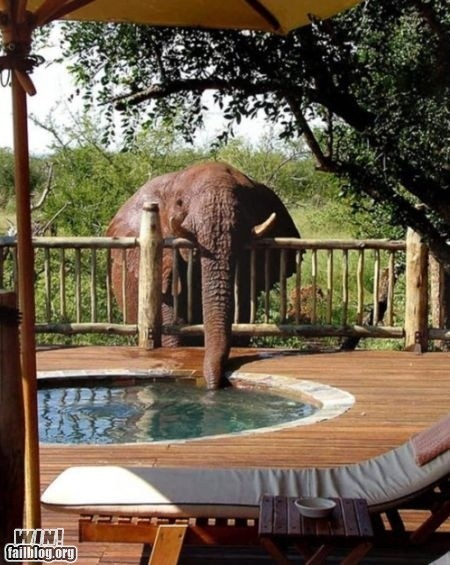 animals,drink,elephant,hot tub,pool
