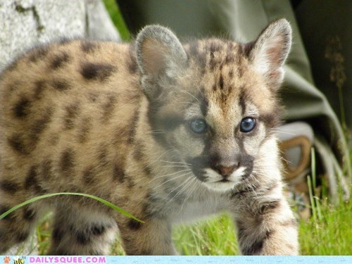 cougar cub grass mountain lion sneaky squee spree stalking - 6005663488