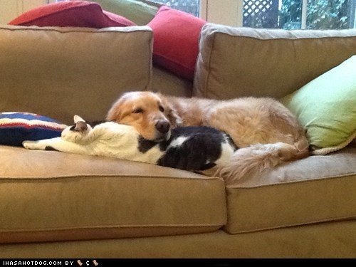 cat,cyoot,dogs,funny,golden retriever,kittehs r owr friends