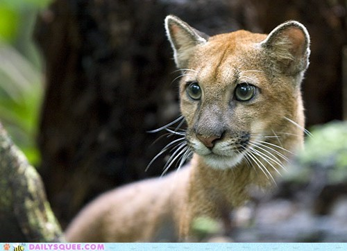 adolescent,cougar,cub,mountain lion,squee spree,teenager