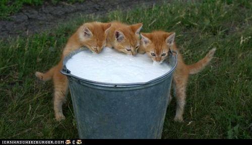 bucket buckets cyoot kitteh of teh day milk orange three cats - 6010684160
