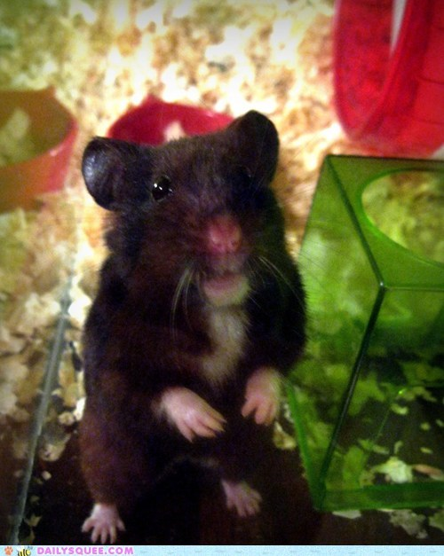 hamster pet reader squees sheldon sick - 6011643136