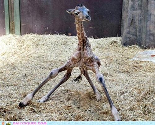 Awkward baby giraffes infant just born legs new squee stand standing - 6013833216