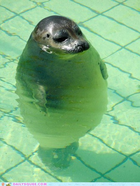 fat,float,peeking,pool,seal,seals,standing,swim,swimming,water