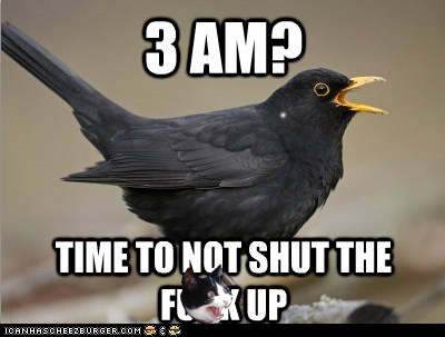 birds,blackbird,blackbirds,chriping,early,early morning,rude,scumbag,shut up