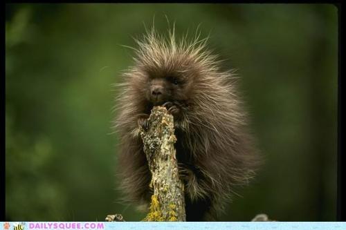 baby,branch,climb,porcupine
