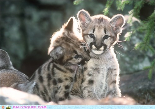 Babies cougars cubs mountain lions snuggle squee spree - 6015214592