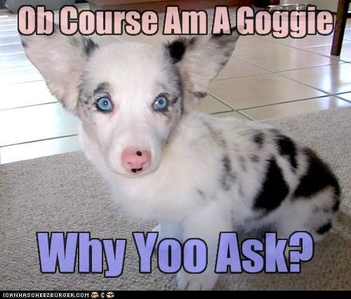 corgi goggie puppy - 6021175808