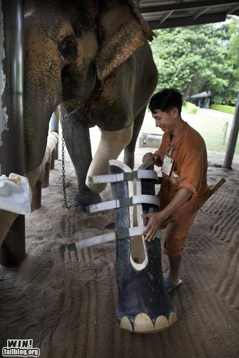 cast,cute,elephant,leg,prosthetic,zoo
