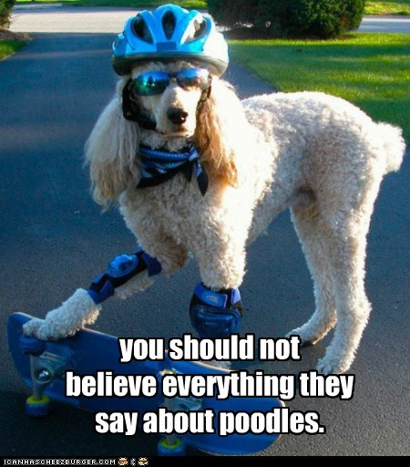 you should not believe everything they say about poodles.