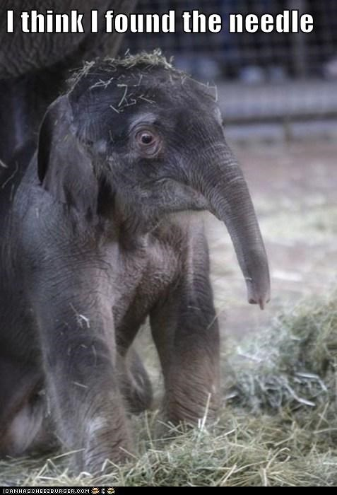 baby elephant haystack hurt needle ouch ow pain - 6022932224