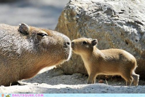 baby capybara KISS mom rocks - 6031654912