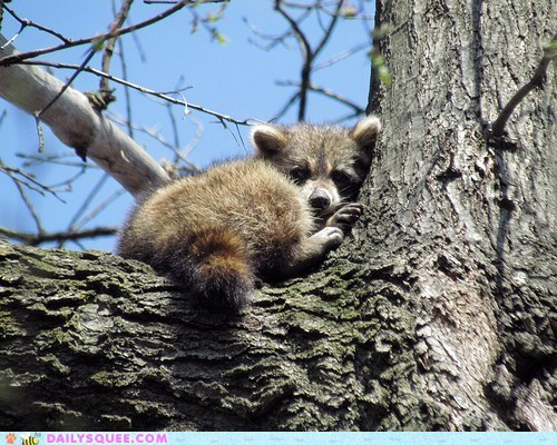 baby,nap,raccoon,sleep,sunshine,tree