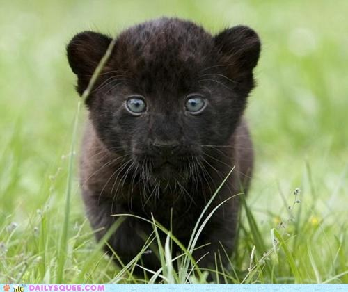black cub grass jaguar leopard puma - 6031715840