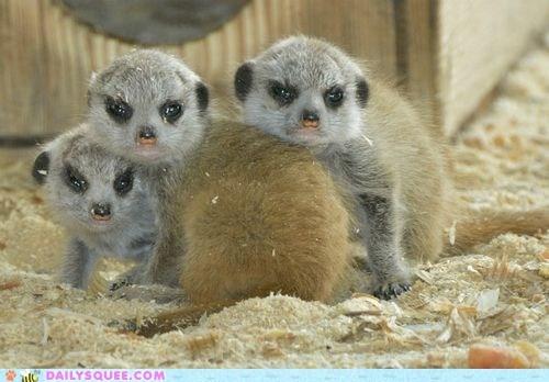 grumpy,Meerkats,pile,sawdust