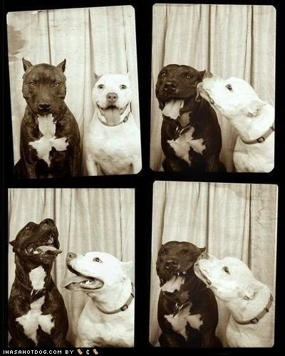 best of the week black-white dogs Hall of Fame pitbull - 6031933696
