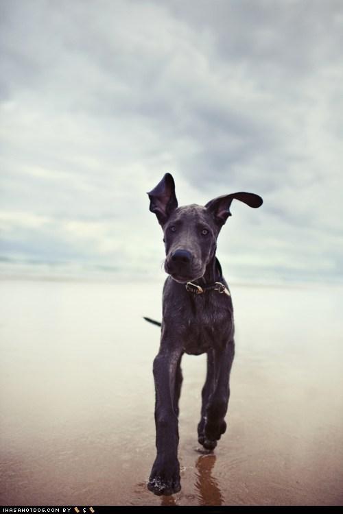 beach goggie ob teh week great dane - 6032048640