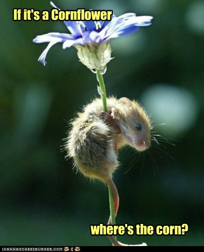 climb,corn,cornflower,Flower,look,mouse,pretty,spring,vegetable