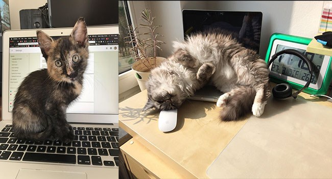 a photo of two different pictures of two different cats but both sleeping or sitting on keyboards of a computer and therefore not letting there owners work