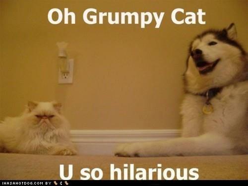 cat dogs grumpy huskie - 6035427584