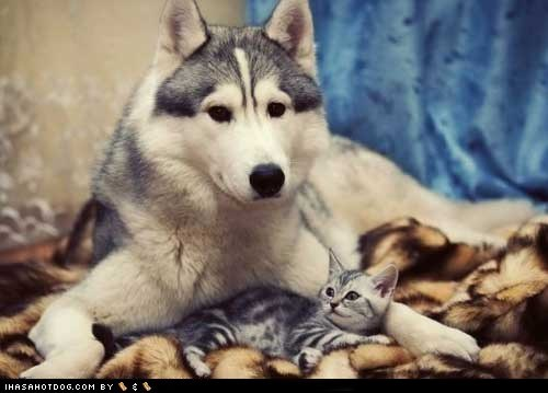 huskie,kittehs r owr friends,kitten