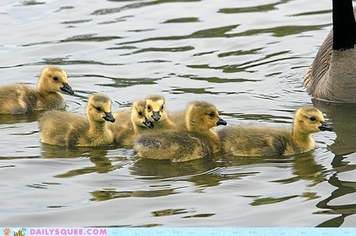 birds family goose goslings group swim