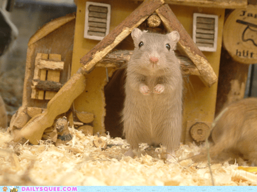 hamster,house,visit,wood shavings