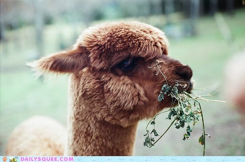 alpaca branches eat face furry plant snack - 6035958016