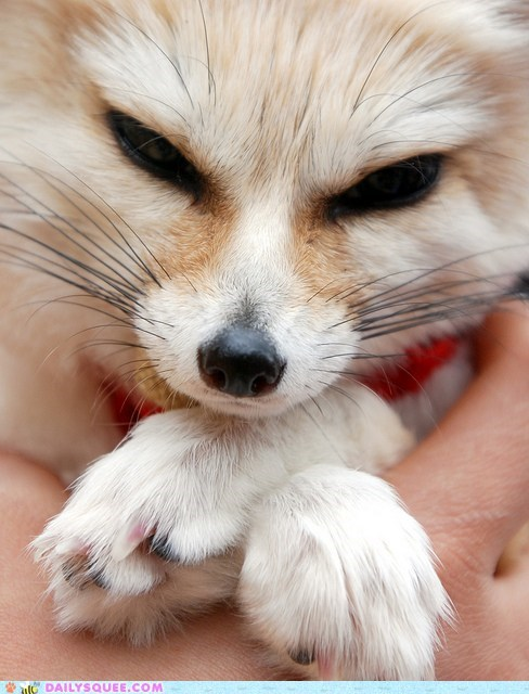 close up face fennec fox paws squee spree winner - 6035959296