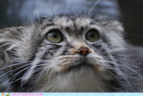 face,kitty,pallas cat,wary