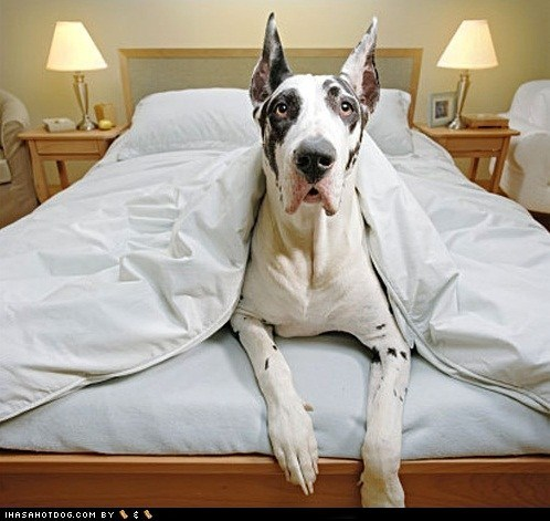 bed,goggie ob teh week,great dane
