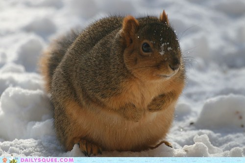 cold fat huge insulated plump snow squirrel squirrels - 6036415232