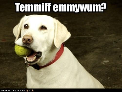 dogs golden retriever tennis ball - 6036526592